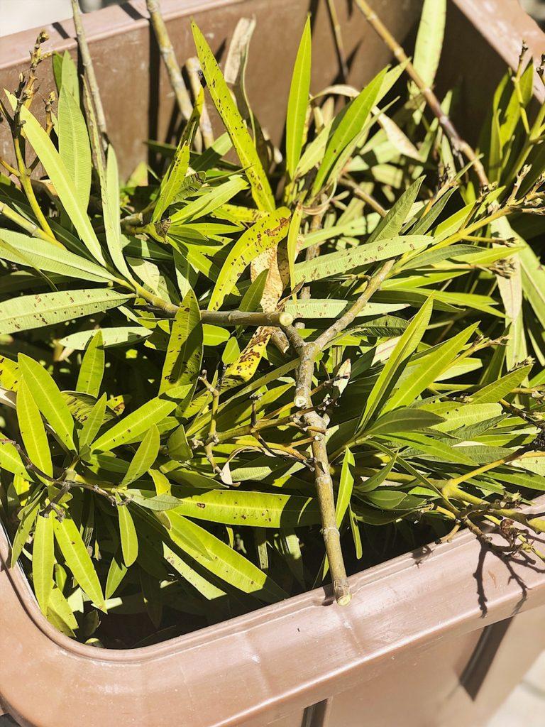 Oleander - pflegen, düngen, schneiden, überwintern - alle Tipps & Infos