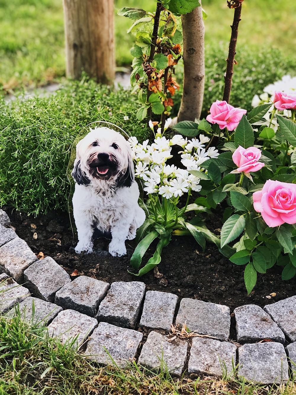 Ein Jahr ohne dich... Max Wuschelhund Tibet Terrier