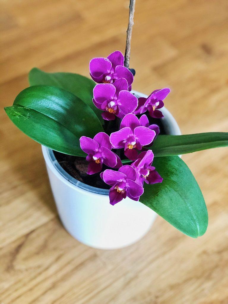 Orchideen richtig umtopfen und Ableger vermehren - so gehts!